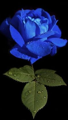 blue rose I love roses.might have to get this one for my garden. Beautiful Flowers Wallpapers, Beautiful Rose Flowers, Unusual Flowers, Rare Flowers, Amazing Flowers, Blue Roses Wallpaper, Flower Phone Wallpaper, Rose Violette, Flowers Gif