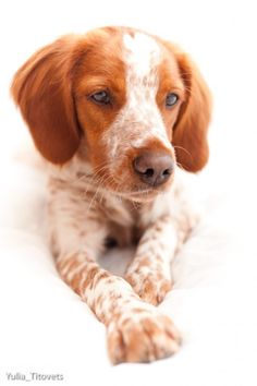 """See our site for even more information on """"cocker spaniel puppies"""". It is an excellent area to read more. French Brittany Spaniel, Brittany Spaniel Puppies, Cocker Spaniel Puppies, Dogs Golden Retriever, Retriever Puppy, Spaniel Breeds, Dog Breeds, Brittney Spaniel, Border Collie"""
