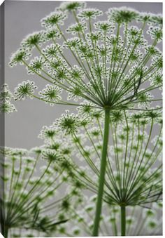 Queen Annes Lace by GYRO PHOTOGRAPHY/a.collectionRF