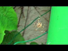 Comment l'araignée fait la spirale de sa toile
