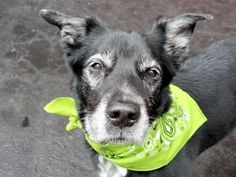 SUPER URGENT – 04/04/15 Manhattan Center My name is LITTLE FOOT. My Animal ID # is A1031948. I am a male black and white labrador retr mix. The shelter thinks I am about 15 YEARS old. I came in the shelter as a OWNER SUR on 04/01/2015 from NY 10306, owner surrender reason stated was PET HEALTH. http://nycdogs.urgentpodr.org/little-foot-a1031948/