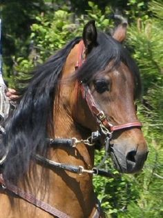 """Paso Fino...""""El Caballo de Paso Fino"""" means The horse with the Fine Step."""