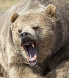 Bear- excellent shot of how they bare their teeth: they pull back the muscles in their muzzle, drawing back their nose and raising their upper lip.