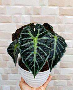 Cto aglonema.bungahias.id. Alocasia, named also Kris Plant, Elephant Ear or African mask plant, is a rhizomatous perennial native to tropical forests and humid and warm areas of South and South-East Asia. This unique plant belonging to the Araceae family is so named because of the shape of its big leaves which decorate any room in your home, as long as they have the good conditions of temperature and humidity. This stunning houseplant has tall stems and bold, arrowhead or shield-shaped…