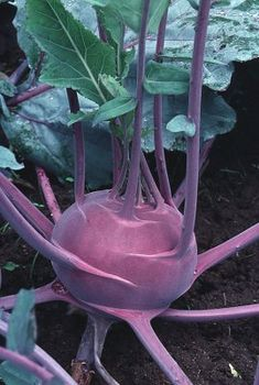 Kålrabbi, Blaril ekologiskt frö