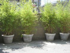 Bamboo Hedge, Bamboo In Pots, Bamboo Garden, Bamboo Plants, Potted Bamboo, Potted Garden, Lush Garden, Garden Pool, Bamboo Containers