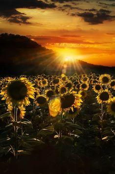 lmmortalgod:Sunflowers at sunset by Nicodemo Quaglia