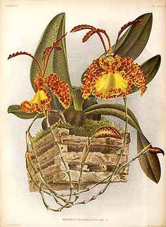 242580 Oncidium kramerianum Rchb.f. / Lindenia, Iconographie des orchidées [E. von Lindemann], Plates 241-264, vol. 6: t. 246 (1890) [A. Goossens]