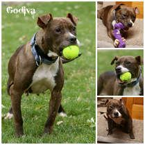 American Pit Bull Terrier dog for Adoption in Sioux Falls, SD. ADN-717537 on PuppyFinder.com Gender: Female. Age: Adult