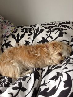 Every picture of Nancy is her asleep! Morkie Terrier ❤️
