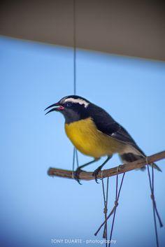 Oiseau - Sucrier des îles - St-Barth - FWI - © Tony Duarte
