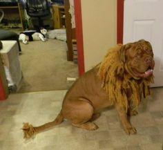 Tanks a lion. Lion Halloween, Tanks, Dogs, Animals, Dogue De Bordeaux, Animales, Animaux, Shelled, Pet Dogs