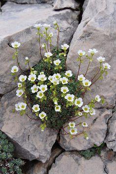 SAXIFRAGA CAESIA (Blaugrüner Steinbrech. Sassifraga verdazzurra. Saxifrage bleuatre. Sinjezeleni kamnokreč. Grey saxifrage). Saxifragaceae   by apollonio&battista