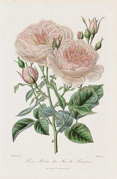 1884 Roses et Rosiers Prints by E. Donnaud - Rose Reine des IIes de Bourbon