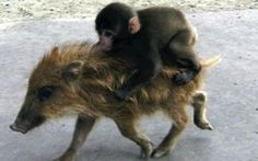 BABY MONKEY! riding on a pig, baby monkey
