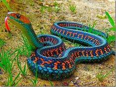 Funny pictures about The Most Colorful Snake: California Red Sided Garter Snake. Oh, and cool pics about The Most Colorful Snake: California Red Sided Garter Snake. Also, The Most Colorful Snake: California Red Sided Garter Snake photos. Cool Snakes, Colorful Snakes, Colorful Animals, Nature Animals, Animals And Pets, Cute Animals, Exotic Animals, Scary Snakes, Poisonous Snakes