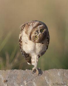 Juvenile Burrowing Owl Parallaxing