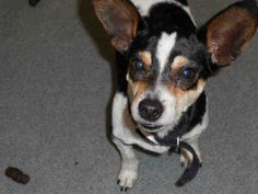 """Meet our little dude """"PILGRIM""""! WPHS PITTSBURGH, PA. PetHarbor.com: Animal Shelter adopt a pet; dogs, cats, puppies, kittens! Humane Society, SPCA. Lost & Found."""