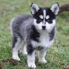 Pomsky puppies for sale! These energetic, fluffy, and lovable Pomsky puppies are a cross between the wolf-like Siberian Husky and Pomeranian dog breeds. Cute Puppies For Sale, Pomsky Puppies For Sale, Cute Dogs, Dogs And Puppies, Puppys For Sale, Pomeranian Husky Puppies, Pomeranian Facts, Husky Puppy, Greenfield Puppies