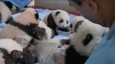 TRUET: Bare 1 600 ville pandabjørner eksisterer i dag i Kina, mye på grunn av menneskelig ødeleggelse av naturen. I en ny programserie avdekker forskeren Sajanyan hvordan kineserne prøver å hindre dyrearten fra å dø ut. Video: PBS