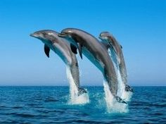 Dolphins are mammals; this means that they nurse their babies with milk. Dolphins are social animals, living in groups usually upwards of 12 .    I...