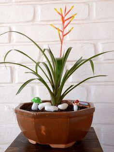 Buy Scarlet Star (Guzmania Dissitiflora)