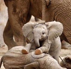 Cute elephant baby Pics with other cute animals Un bambino elefante molto carino + 9 foto con altri simpatici animali Cute Baby Elephant, Cute Baby Animals, Animals And Pets, Funny Animals, Funny Elephant, Happy Animals, Elephant Trunk, Elephant Gif, Crazy Animals