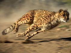 「地上でチーターの次に速いのは何?」陸上最速の動物TOP25