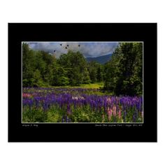 Geese Over Lupine Field Poster