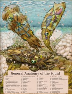 Squid anatomy prints for sale $20 signed editions if you mention Tumblr :)