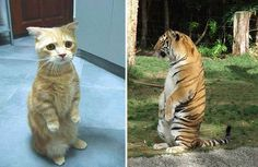 Cats will be cats no matter the size  Fascinating Pictures (@Fascinatingpics) | Twitter