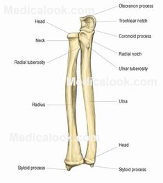 radius+and+ulna+anatomy+images | Radius and Ulna | Anatomy Study Buddy
