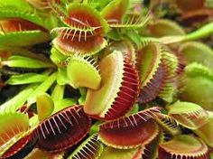 Venus Fly Traps are the most remarkable plants in the world! Reinforce your insect fighting capacity with a couple of venus fly traps. -Live healthy adult sized Venus Flytrap Plant -Comes with a 3 inch net pot Bog Plants, Garden Plants, Indoor Plants, Garden Fun, Garden Ideas, Little Plants, Small Plants, Atrium, Venus Fly Trap Care