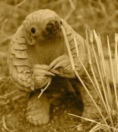 "An 11 month old Pangolin, little is known about this shy, endangered species. ~ Namibia ~ Miks' Pics ""Animals ll"" board @ http://www.pinterest.com/msmgish/animals-ll/"