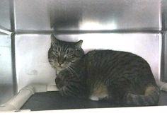 MYRKA - 21347 - - Brooklyn  *** TO BE DESTROYED 02/26/18 *** MYRKA was brought to the shelter when her owner went into the hospital. She is already spayed but very upset at being in the shelter.  Myrka needs a place to decompress.  Please help her and her housemate Max today. -  Click for info & Current Status: http://nyccats.urgentpodr.org/myrka-21347/
