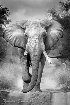 There's something very sordid about a massive elephant bull walking slowly towards you, completely unafraid<br> Elephant Love, Elephant Art, African Elephant, African Animals, Elephant Photography, Wildlife Photography, Animal Photography, Elephants Photos, Elephant Pictures