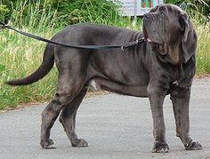 Mastino Napoletano #Mastino Napoletano #Listenhund