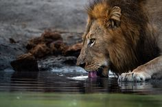 Photograph by Ross Couper Big Cats, Lion, Wildlife, Photograph, Animals, Leo, Photography, Animais, Lions