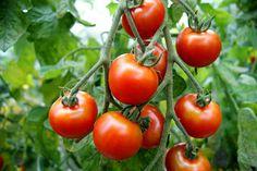 Skarntyden og lupinen: Pizza med hjemmelavet tomatsauce