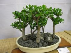 sukulent bonsai - Google'da Ara