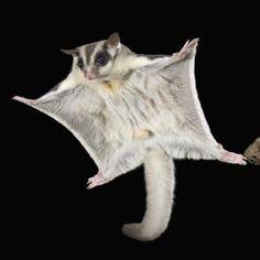mammals that glide - Google Search