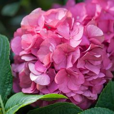 Hydrangea macrophylla 'King George' - Hydrangeas - Thompson & Morgan