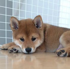 This Adorable Shiba Inu Puppy Was Born With A Permanent Sad Face Puppies And Kitties, Cute Puppies, Cute Dogs, Doggies, Japanese Dog Breeds, Japanese Dogs, Cute Funny Animals, Cute Baby Animals, Chien Shiba Inu