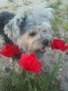 Noa, Mascotas, perros, yorkshire terrier