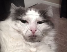 Cat looks like an old man.