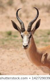 springbok wild animals african mammal savannah plains and deserts africa kalahari desert kgalagadi national park south africa botswana nature parks and nature reserves