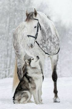 Husky dog and White horse in the snow