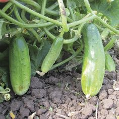 We're trying these this year . . . Double Yield Cucumbers  Organic    52 days. There couldn't be a more appropriate name for this industrious cucumber. Its productivity is unmatched, and it's a good thing, since these crispy, delicious fruit not only make superb pickles, they're also excellent right off the vine. The super robust plants have a naturally rounded habit and yield 4-6 inch long, uniform, lime green fruit with black spines.