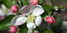 "What does ""King Bloom"" mean and how does it relate to a great crop of apples?"