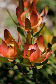 This small compact shrub provides a variation of colour with bright red foliage in autumn to yellow highlights during winter. Great in pots or gardens. Australian Flowers, Australian Plants, Types Of Soil, Types Of Plants, Garden Inspiration, Garden Ideas, Protea Flower, Balcony Garden, Red Flowers